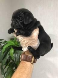 Pug preto/abricot, oferecemos suporte veterinário exclusivo