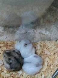 Hamster Anão Russo 'chines'