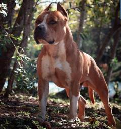 Jovem macho de American Staffordshire Terrier