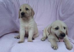 Labradores Fêmeas em 12 x no cartão de crédito, vacinadas, vermifugadas e comendo ração