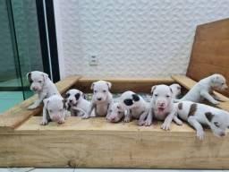 Filhotes de Pitbull 1 mês