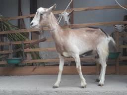 Uma cabra toggemburg