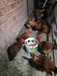 Vende-se galinha caipira viva ao preço de 35,00, 40 abatida fazemos entrega