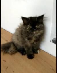 Filhote Fêmea Gato Persa