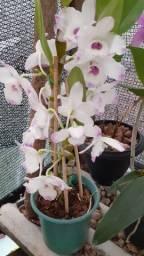 Orquídeas catyleias, dendrobiun,oncindium e cimbindium.