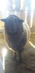 Lindo carneiro preto lã bem socada pesa en torno de 100 kilos vivo