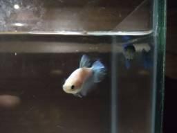 Vendo aquário com duas bettas fêmeas