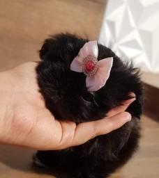 Shih tzu filhote femea black porte pequeno