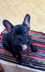Fêmea Bulldog Francês
