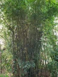 BAMBU IN NATURA - Para retirar no local