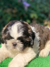 Shih tzu machinhos