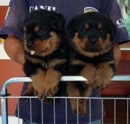 Qualidade E Procedência Vc Só Encontra Aqui No Canil Império Lindos Filhotes De Rottweiler
