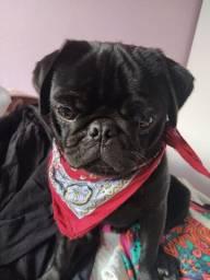 Cachorro PUG Macho - Vermifugado e com todas as vacinas importadas