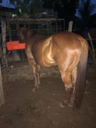 Cavalo vaquejada direita