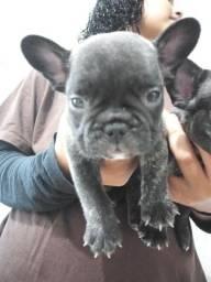 Bulldogue frances
