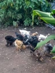 Vendo ou troco pintinhos Brahma de 3 meses, por frangos caipiras.