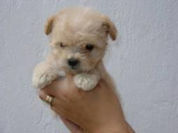 Bebezinhos  lindos de poodle toy  disponível para vc