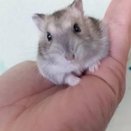 Filhotinho de Hamster Anão Russo