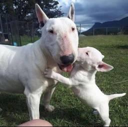 Bull Terrier Inglês Pirata \ fulvo\tricolor\White e black brindle , machos e fêmeas<br><br><br>