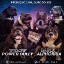 American Bully (pocket x micro)