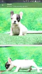 Filhote de Bulldog francês (ficará minúsculo)