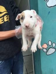 Bull Terrier Inglês com garantia de saúde e auxilio veterinário