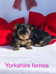 Yorkshire Terrier Com Garantia