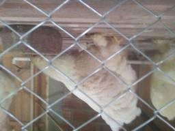 Aves brahma
