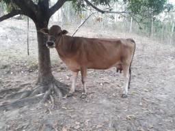 Vendo as 3 vacas e uma bezerra  whatsapp *