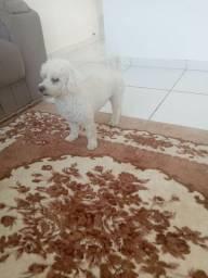 Poodle toy para cruzar só boto com a mesma raça e tamanho
