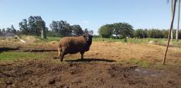 Lindo carneiro preto lã bem socada