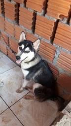 Vendo uma husky siberiano tem 1 ano