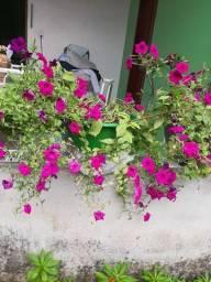 Flor petunia, é rosa do deserto