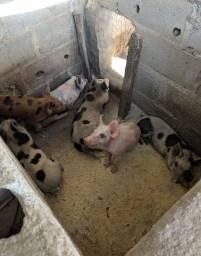 Porcos novinhos