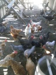 Vendas  de galinhas e galo