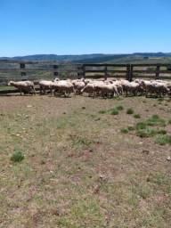 Vendo 50 ovelhas e 50  capões