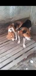 Vendo   filhote   de beagle * *