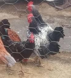 Frango & galinha