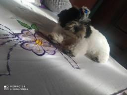 Cachorra da raca lhasa apso