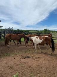 Cavalos Manga Larga e quarto de milha