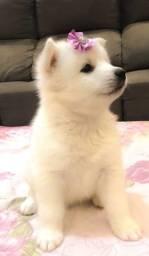 Filhote de Husky Siberiano branco