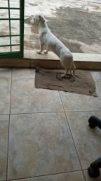 Cadela basset 3 meses