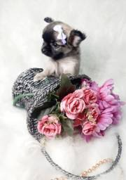 Chihuahua macho e femea baby face