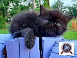 Filhote de gato Persa e Exótico