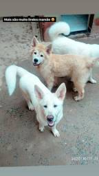 Akita fêmea branca
