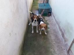 Vendo trela de cachorro, 1ano de idade beagle com americano