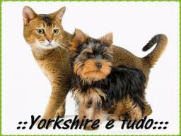 Yorkshire Terrier pequeninos Whats: *