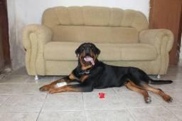 Cão Rottweiler macho para cruza.