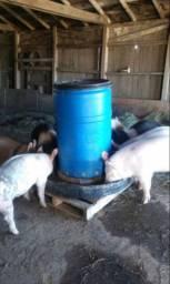 Vendo porco média de 25 kg
