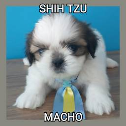 Shih Tzu com contrato de compra e venda